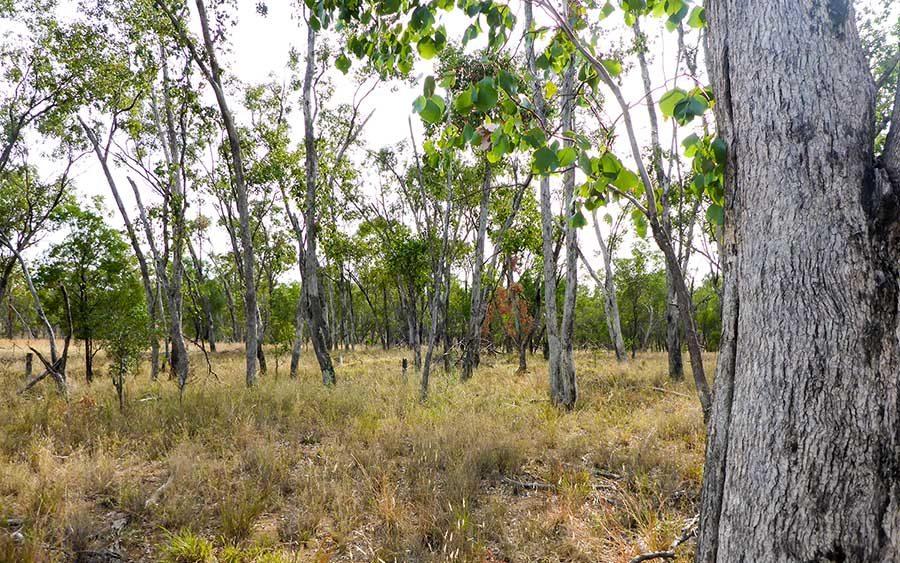 Poplar-Box-Woodland